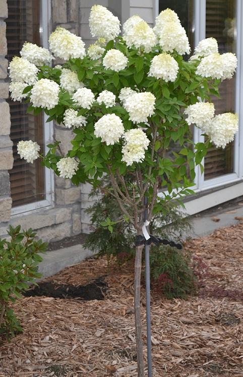 Hydrangea Paniculata Lime Light Tree Form Cherry